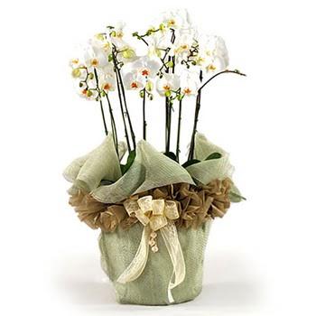 Gölbaşı çiçekçi güvenli kaliteli hızlı çiçek  3 dal orkide , saksi çiçegi , 3 kök orkide