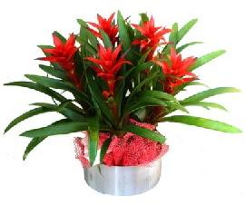 5 adet guzmanya saksı çiçeği  Gölbaşı çiçek gönder cicekciler , cicek siparisi