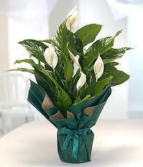 Spatifilyum Barış çiçeği Büyük boy  Çiçekçi Gölbaşı çiçekçi mağazası