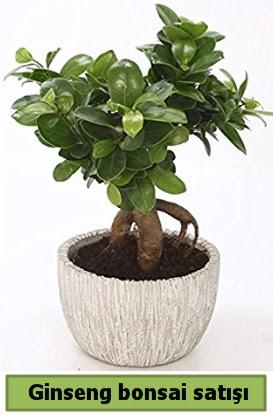 Ginseng bonsai japon ağacı satışı  Gölbaşı anneler günü çiçek yolla