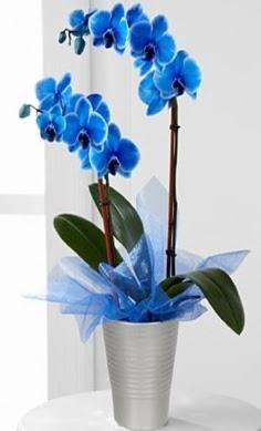 Seramik vazo içerisinde 2 dallı mavi orkide  Gölbaşı çiçek online çiçek siparişi