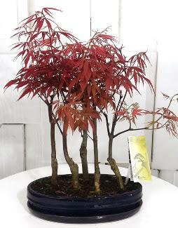 5 adet japon akçaağaç bonsai çiçeği  Ankara Gölbaşı hediye sevgilime hediye çiçek