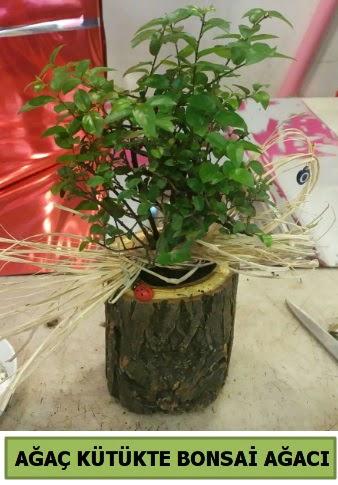 Doğal ağaç kütük içerisinde bonsai ağacı  Gölbaşı çiçek gönder cicekciler , cicek siparisi
