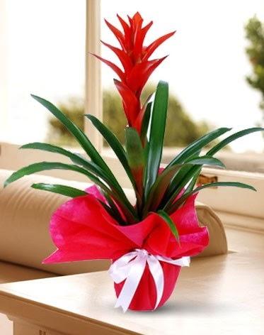 Guzmanya Saksı Çiçeği  Ankara Gölbaşı çiçekçi uluslararası çiçek gönderme
