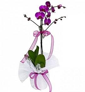 Tek dallı saksıda ithal mor orkide çiçeği  Gölbaşı çiçek yolla online çiçekçi , çiçek siparişi