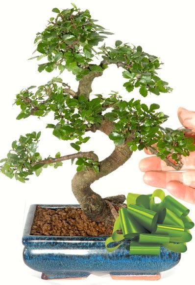 Yaklaşık 25 cm boyutlarında S bonsai  Gölbaşı çiçekçi güvenli kaliteli hızlı çiçek