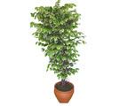 Ficus özel Starlight 1,75 cm   Gölbaşı Ankara çiçek yolla