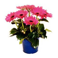 vazo içerisinde gerbera çiçekleri   Gölbaşı ankara çiçek gönderme sitemiz güvenlidir