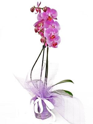 Gölbaşına çiçek , çiçekçi , çiçekçilik  Kaliteli ithal saksida orkide