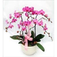 Gölbaşı çiçekçiler  çiçek siparişi sitesi  3 adet saksi da orkide - yerli ege cins -