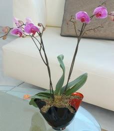 Gölbaşı çiçek kaliteli taze ve ucuz çiçekler  tek dal ikili orkide saksi çiçegi