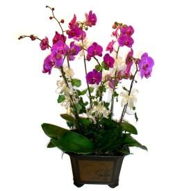 Gölbaşı Ankara çiçek yolla  4 adet orkide çiçegi
