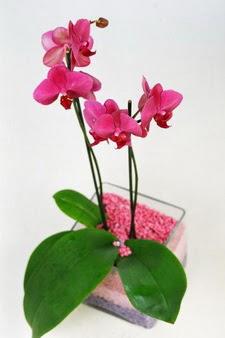 Gölbaşı çiçek kaliteli taze ve ucuz çiçekler  tek dal cam yada mika vazo içerisinde orkide