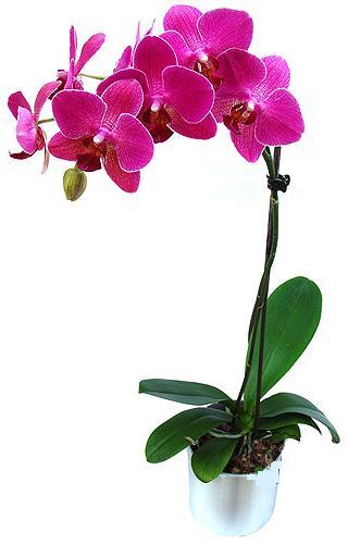 Gölbaşı çiçek kaliteli taze ve ucuz çiçekler  saksi orkide çiçegi