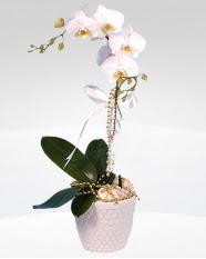 1 dallı orkide saksı çiçeği  Ankara Gölbaşı çiçek siparişi vermek