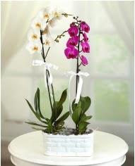 1 dal beyaz 1 dal mor yerli orkide saksıda  Çiçekçi Gölbaşı çiçekçi mağazası