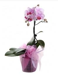 1 dal pembe orkide saksı çiçeği  Çiçek yolla Gölbaşı internetten çiçek satışı