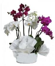 4 dal mor orkide 2 dal beyaz orkide  Gölbaşına çiçek , çiçekçi , çiçekçilik
