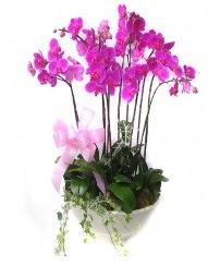 9 dal orkide saksı çiçeği  çiçek siparişi Gölbaşı çiçekçiler