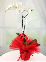 1 dal beyaz orkide saksı çiçeği  Ankara Gölbaşı internetten çiçek siparişi