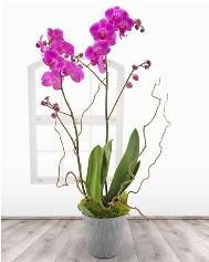 2 dallı mor orkide saksı çiçeği  Gölbaşı ankara çiçek servisi , çiçekçi adresleri