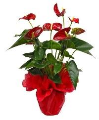 Görsel antoryum saksı çiçeği  Gölbaşı ankara çiçek gönderme sitemiz güvenlidir