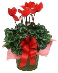 Sılkamen saksı çiçeği  Ankara Gölbaşı internetten çiçek siparişi