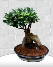saksı çiçeği japon ağacı bonsai  Çiçek yolla Gölbaşı internetten çiçek satışı