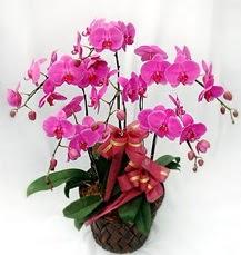 6 Dallı mor orkide çiçeği  Gölbaşına çiçek , çiçekçi , çiçekçilik