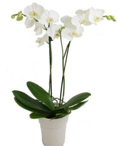 2 dallı beyaz orkide  Gölbaşı çiçekçi telefonları