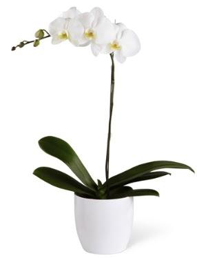 1 dallı beyaz orkide  Ankara Gölbaşındaki çiçekçiler ankara çiçek satışı