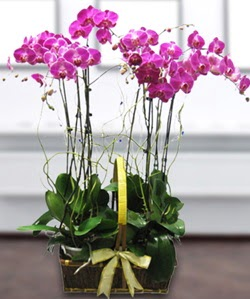 4 dallı mor orkide  çiçek siparişi Gölbaşı çiçekçiler