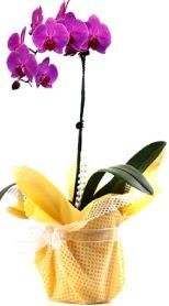 Gölbaşı çiçekçi güvenli kaliteli hızlı çiçek  Tek dal mor orkide saksı çiçeği