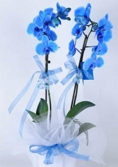 2 dallı mavi orkide  Gölbaşı çiçek siparişi yurtiçi ve yurtdışı çiçek siparişi