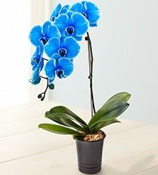 1 dallı süper eşsiz mavi orkide  Gölbaşı çiçekçiler  çiçek siparişi sitesi
