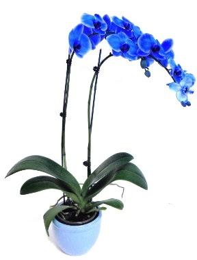 Seramikli 2 dallı süper eşsiz mavi orkide  Çiçekçi Gölbaşı çiçekçi mağazası