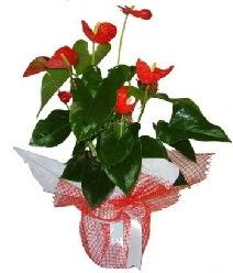 Antoryum saksı iç mekan süs bitkisi  Çiçekçi Gölbaşı çiçekçi mağazası