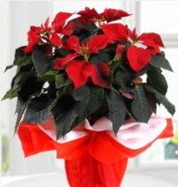 Atatürk Çiçeği saksı çiçeği  Gölbaşı ankara çiçek gönderme sitemiz güvenlidir
