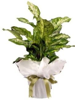Difenbahya Mars Küçük boy  Çiçekçi Gölbaşı çiçekçi mağazası