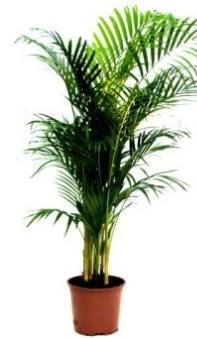 Areka Orta boy saksı bitkisi  Gölbaşına çiçek , çiçekçi , çiçekçilik