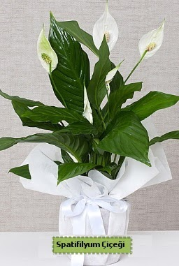 Spatifilyum Orta boy Saksı çiçeği  Gölbaşına çiçek , çiçekçi , çiçekçilik