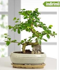 S şeklinde ithal gerçek bonsai japon ağacı  Gölbaşı çiçek siparişi yurtiçi ve yurtdışı çiçek siparişi