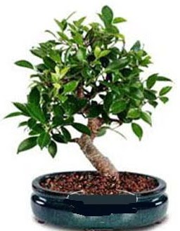 5 yaşında japon ağacı bonsai bitkisi  Gölbaşına çiçek , çiçekçi , çiçekçilik