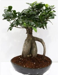 5 yaşında japon ağacı bonsai bitkisi  Gölbaşı çiçek siparişi yurtiçi ve yurtdışı çiçek siparişi