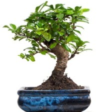 5 yaşında japon ağacı bonsai bitkisi  Ankara Gölbaşı hediye sevgilime hediye çiçek