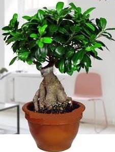 5 yaşında japon ağacı bonsai bitkisi  Gölbaşı ankara çiçek gönderme sitemiz güvenlidir