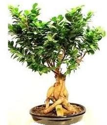 Bonsai Japon ağacı saksı bitkisi  Gölbaşı çiçekçi güvenli kaliteli hızlı çiçek