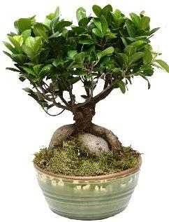 Japon ağacı bonsai saksı bitkisi  Ankaradaki çiçekçiler Gölbaşı cicek , cicekci