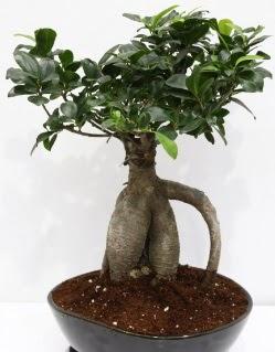 Japon ağacı bonsai saksı bitkisi  Ankara Gölbaşı çiçekçi uluslararası çiçek gönderme