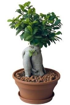 Japon ağacı bonsai saksı bitkisi  Ankara Gölbaşı 14 şubat sevgililer günü çiçek